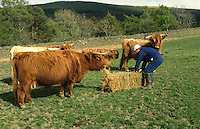 feeding highland cattle with bale of hay