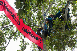 London, UK. 3rd September, 2020. Anti-HS2 activists from HS2 Rebellion continue to occupy plane trees in Parliament Square. HS2 Rebellion activists are attending Extinction Rebellion's September Rebellion protests in London to call on the government to cancel the controversial HS2 high-speed rail link on the grounds of its hugely detrimental environmental impact and its estimated £106bn cost.