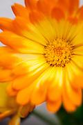 Calendula officinalis 'Oopsy Daisy' - pot marigold
