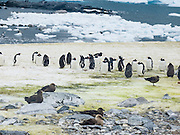 Skuas (bird genus: Stercorarius, family: Stercorariidae) linger about the Gentoo Penguin colony (Pygoscelis papua) and prey upon the weak on Cuverville Island, Antarctica.