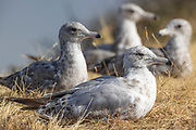 Four young gulls rest on a bluff overlooking the water of Port Gardner in Everett, Washington.