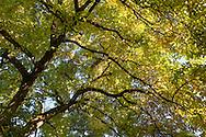 Magnolia tree fall leaf colour at Queen Elizabeth Park in Vancouver, British Columbia, Canada