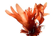 red dulse (Palmaria palmata), Roscoff, France | Der Lappentang (Palmaria palmata) ist eine mehrjährige und essbare Rotalge. Roscoff, Frankreich