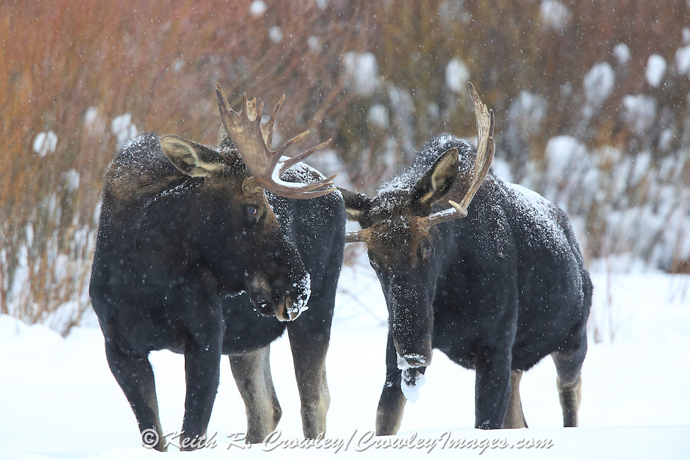 Two young bull moose (Alces alces) in Winter Habitat