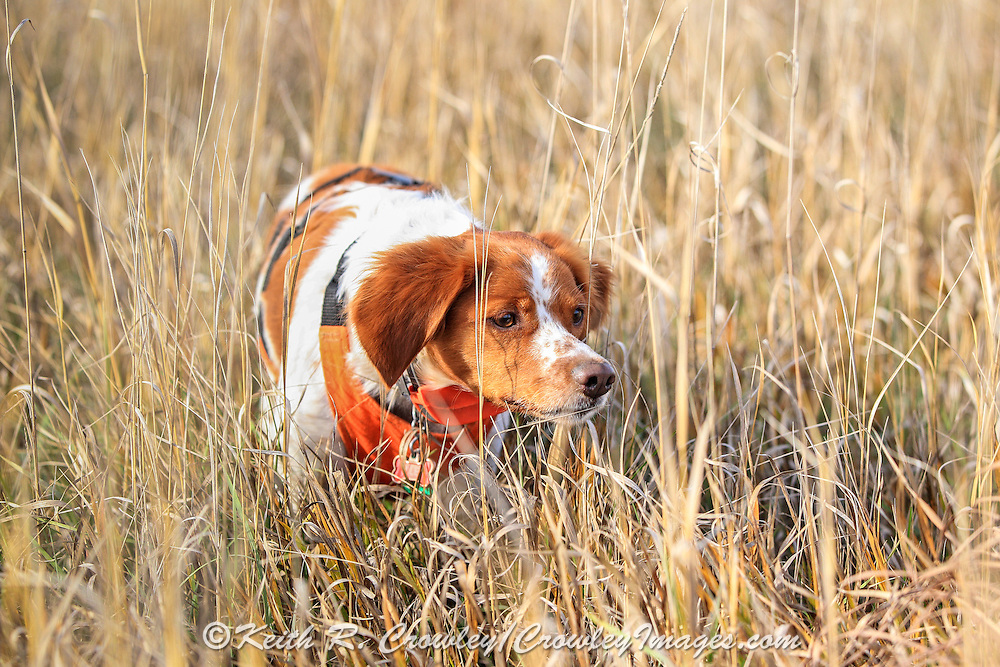Brittany Spaniel afield during a pheasant hunt.