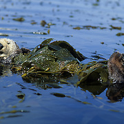 Sea Otter (Enhydra lutris) wrapped up in kelp during the spring in Monteray Bay. California
