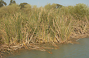 Papyrus growing on the river bank