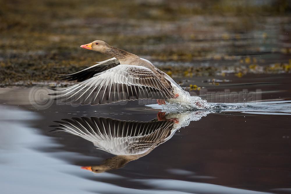 Escaping twin Gray goose | Tvilling grågås i flukt
