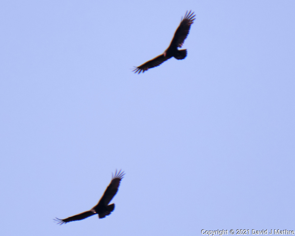 Turkey Vulture. Image taken with a Fuji X-T4  camera and 100-400 mm OIS lens.