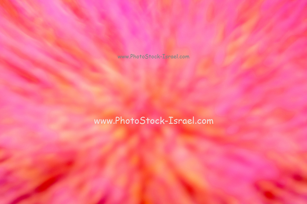 Soft focus closeup of an artichoke [ globe artichoke (Cynara cardunculus var. scolymus) flower