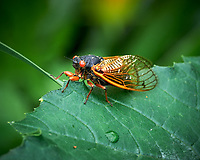 Cicada (brood X). Image taken with a Leica SL2 camera and 24-90 mm lens.
