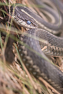 Large garter snake in the grass. Curling up around itself. Eyes are opaque as it is getting ready to molt its skin.