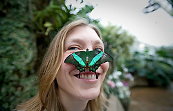 © Licensed to London News Pictures. 25/01/2012. Woking, UK.  RHS Garden worker Cara Smith poses with an Emerald Swallowtail butterfly  at a photo call for 'Butterflies in the Glasshouse' at RHS Garden Wisley in Woking, Surrey on January 25th, 2012. For four weeks the greenhouse at RHS Wisley is transformed by over one thousand colourful butterflies which only live for a few weeks. Photo credit : Ben Cawthra/LNP