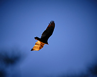 Turkey Vulture Soaring.  Image taken with a Fuji X-T3 camera and 200 mm f/2 telephoto lens + 1.4x teleconverter (ISO 320, 280 mm, f/6.4, 1/500 sec).