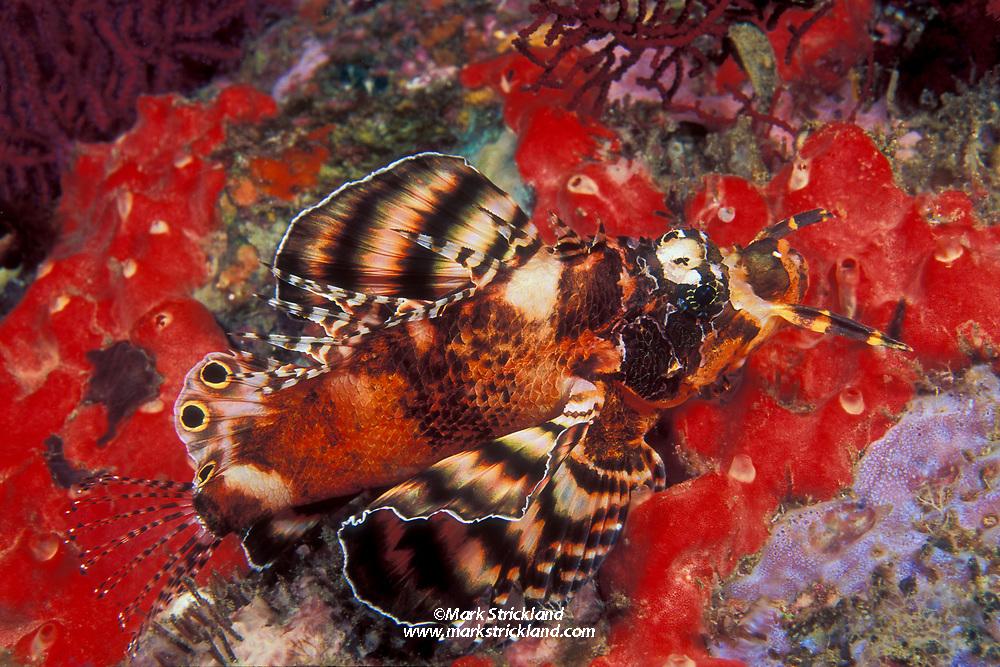 Twinspot Lionfish, Dendrochirus biocellatus, Similan Islands Marine National Park, Thailand, Andaman Sea