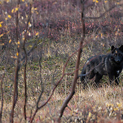 A lone black-colored gray wolf (Canis lupus) in Denali National Park, Alaska.