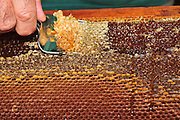 Beekeeper removes the wax. Worker honeybees, (Apis mellifera) fill the hexagonal chambers of a frame with honey made from nectar. The domesticated bee is given a frame with hexagonal foundations, several such frames forming a hive. The chambers are built up from wax secreted by the bee, filled with honey & capped again with wax. The keeper removes the frames in late summer to prevent the bees feeding on the honey over winter. He replaces it with syrup. Frames similar to these are used as breeding chambers where the queen lays her eggs.