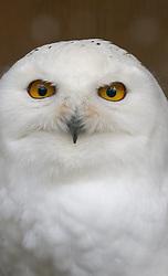 THEMENBILD - ein Waldkauz (Strix aluco) im Wildpark Ferleiten, aufgenommen am 29. April 2018 in Taxenbacher- Fusch, Österreich // a tawny owl at the Wildlife Park, Taxenbacher-Fusch, Austria on 2018/04/29. EXPA Pictures © 2018, PhotoCredit: EXPA/ Stefanie Oberhauser