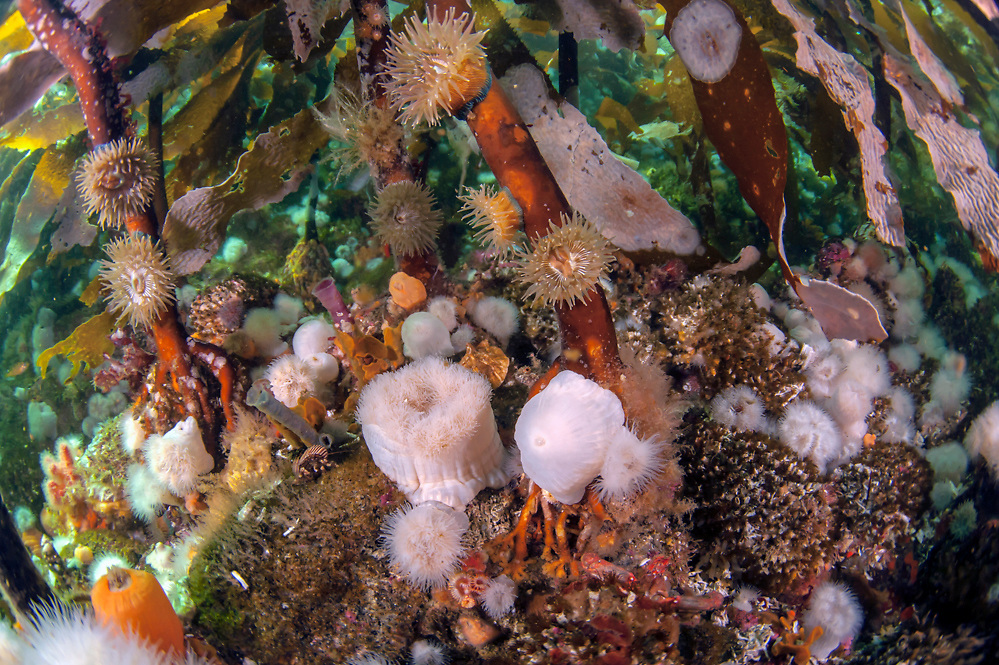A thick carpet of short plumose anemones, Metridium senile, blankets the floor of the kelp forest in Browning Passage offshore Vancouver Island, British Columbia, Canada.