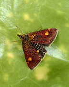Close-up of a Common Purple and Gold moth (Pyrausta purpuralis) resting on a leaf in a Norfolk garden in summer