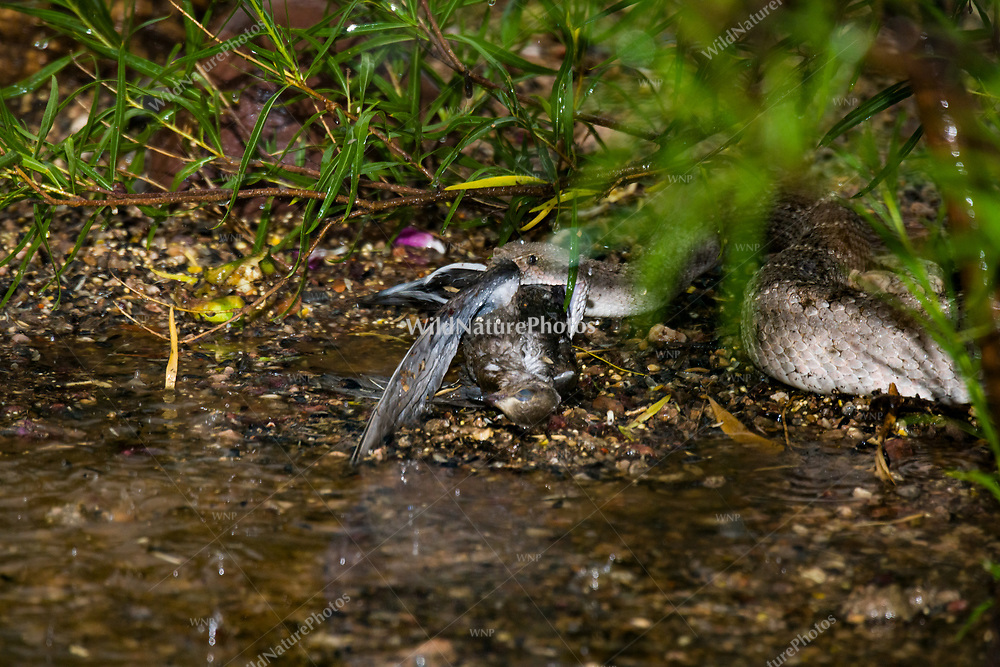 A Western Diamondback rattlesnake (Crotalus atrox) swallows a Morning Dove (Zenaida macroura) during a monsoon rainstorm. (Arizona)