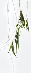 Eucalyptus camaldulensis #10