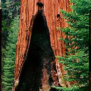 The Grant Tree, Kings Canyon National Park. 4x5 Kodak Ektar 100. photo by Nathan Lambrecht