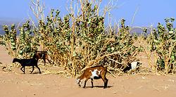 Goats wandering in the desert near Lake Iriki, Souss-Massa territory, Morocco<br /> <br /> (c) Andrew Wilson   Edinburgh Elite media