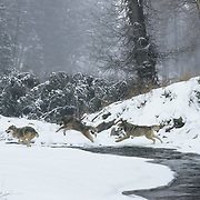 Gray Wolf pack running and jumping across an unfrozen part of a river during the winter in Montana. Captive Animal