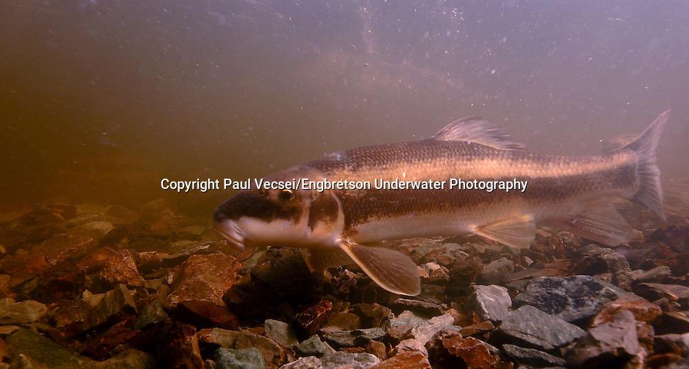 White Sucker<br /> <br /> Paul Vecsei/ENGBRETSON UNDERWATER PHOTO