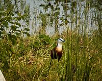 African Jacana. Chobe River, Botswana. Image taken with a Nikon 1 V3 camera and  70-300 mm VR lens.