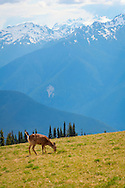 Deer at Hurricane Ridge - Olympic National Park, WA
