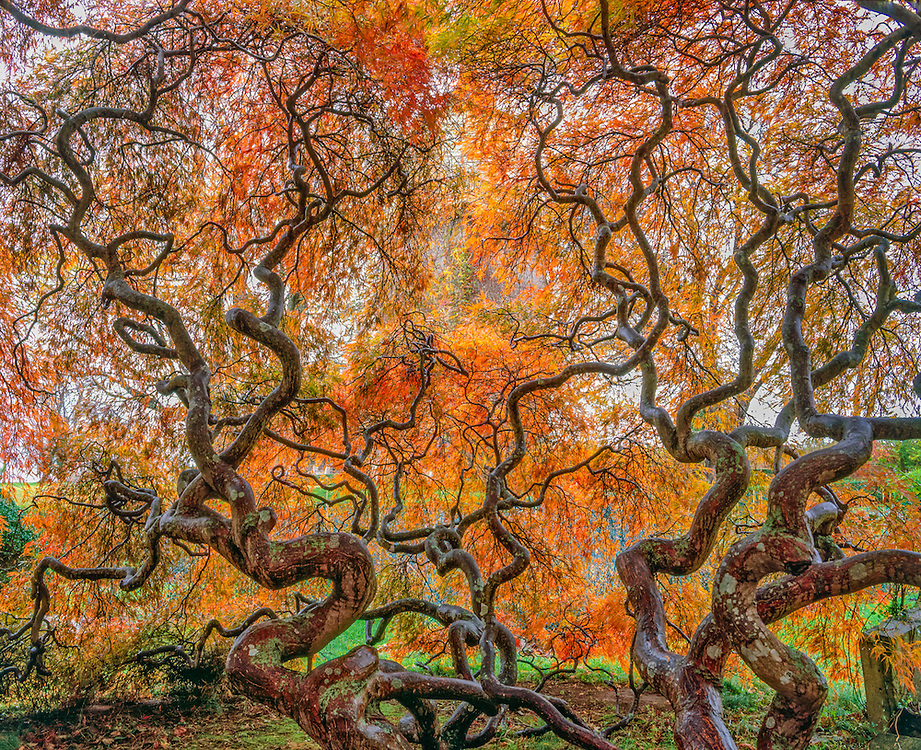 Cluster of Japanese red maples in fall designed by Beatrix Farrand, Harkness Memorial SP,  Waterford, CT