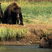 Alaskan Brown Bear, (Ursus middendorffi) Mother and cub watch approaching bear. Katmai National Park. Alaska.
