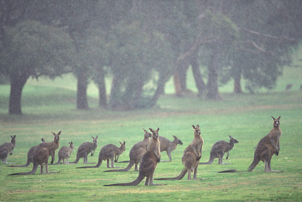 Australia, Victoria, Kangaroos (Macropus sp.) gather along fairway at Anglesea Golf Course near town of Lorne