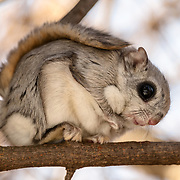 This is a Japanese dwarf flying squirrel (Pteromys volans orii) resting in a tree in the golden light of late afternoon. Although this species is primarily nocturnal, individuals occasionally emerge from their nests during daylight hours. This individual was well hidden in a shaded area covered by a tangle of small branches.