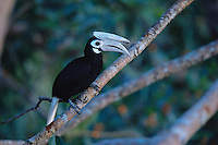 The endangered Palawan hornbill (Anthracoceros marchei) in a tree..Palawan Island, Philippines.