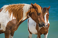 Wild Pony, Assateague Island National Seashore, Berlin, Maryland.