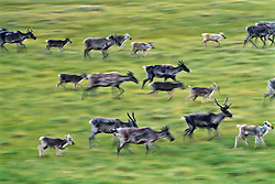 Porcupine caribou herd migration across North Yukon