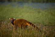 Aquidauana_MS, Brasil...Detalhe de um Coati na fazenda Rio Negro no Pantanal...A Coon in Rio Negro farm in Pantanal...Foto: JOAO MARCOS ROSA / NITRO
