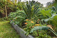 A variety of kale grows in raised beds in an organic garden.