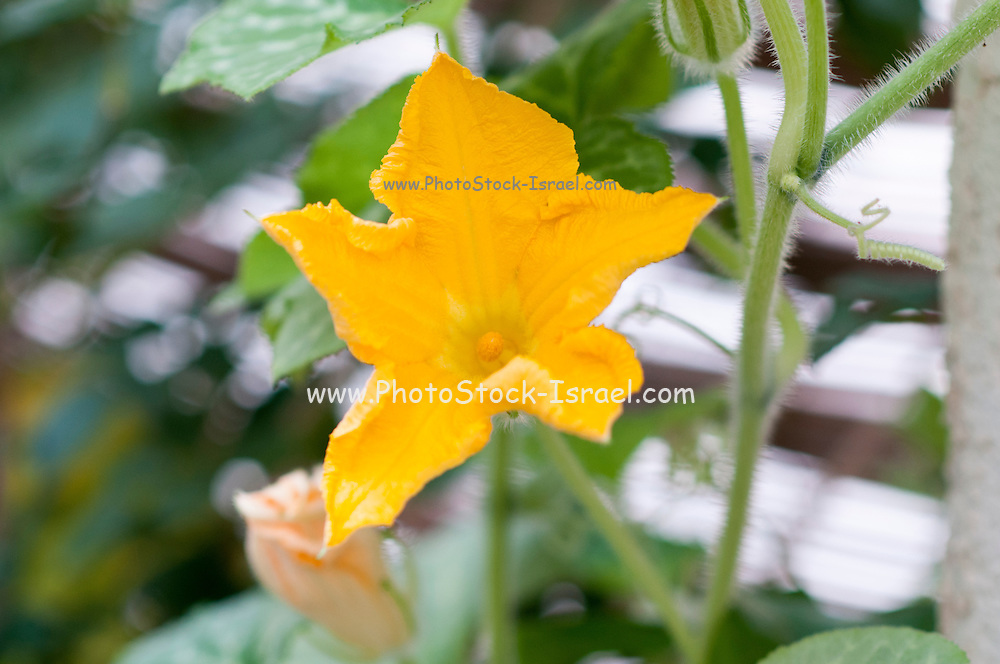 Pumpkin plant with large yellow flowers grows in a garden