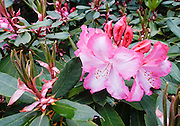 Hybrid rhododendron flowers (in the heath family, Ericaceae) bloom magenta-pink in beautiful Meerkerk Gardens, on Whidbey Island, in the state of Washington, USA. To see the park's blossoms at their spectacular peak, visit around late April or early May. Getting there: 2 miles south of Greenbank, turn east at the corner of Highway 525 and Resort Road, and go to 3531 Meerkerk Lane. (Photo was taken May 22, 2015.)