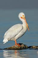 American White Pelican - Pelecanus erythrorhynchos - Adult