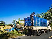"""08 DECEMBER 2015 - KO WAI, NAKHON NAYOK, THAILAND:  Rice is moved from a harvesting machine to a truck during the rice harvest in Nakhon Nayok province, about two hours north of Bangkok. Thai agricultural officials expect rice prices to go up by as much as 15% as global production of rice is cut by the Pacific Ocean El Niño weather pattern. Thailand's rice production is expected to drop in the coming year. Persistent drought has reduced the main crop, currently being harvested, and the military government has ordered farmers not to plant a second crop of """"dry season"""" rice to conserve Thailand's dwindling supply of water. Thailand's water reservoirs are at their lowest seasonal levels in recent memory and little rain is expected during the dry season, which lasts until June.   PHOTO BY JACK KURTZ"""