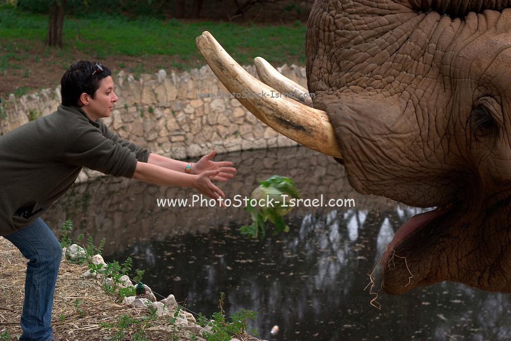 Zoo employee feeding an Elephant