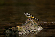 Grey Wagtail, Motacilla cinerea, Chee dale, Peak District