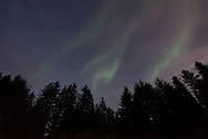 The aurora appears above spruce trees in Bartlett Cove, Alaska