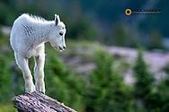 Mountain Goat Kid in Glacier National Park, Montana, USA