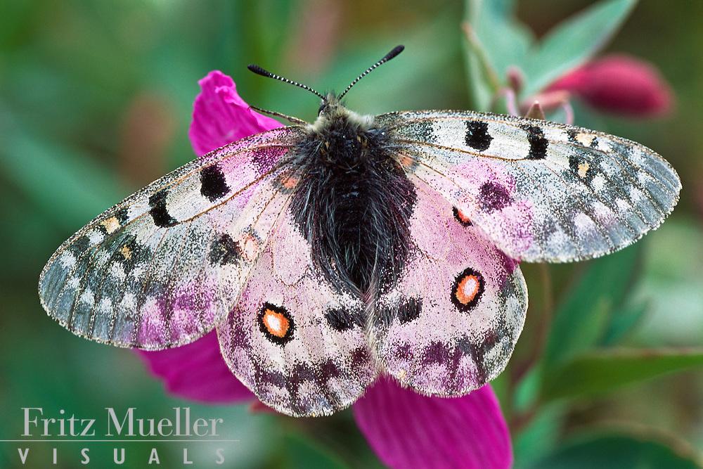 Butterfly on fireweed, Asi Keyi Park, Yukon
